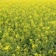 Rape field — Stock Photo #2756650
