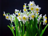 Isolated white and yellow daffadilly — Stock Photo