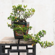 The Chinese banyan tree bonsai in ceramic pot. — Stock Photo #2990804
