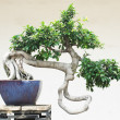 The Chinese banyan tree bonsai in ceramic pot. — Stock Photo #2990809