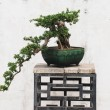 The Chinese banyan tree bonsai in ceramic pot. — Stock Photo #2990814