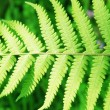 The verdure spring fern leaves — Foto Stock