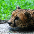Fallen Cheetas — Stock Photo