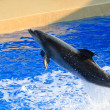 ������, ������: Leaping Dolphin