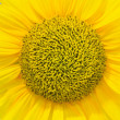 Sun flower — Stock Photo