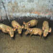 Dirty small pigs — Foto de stock #2898015