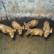 Stock Photo: Dirty small pigs