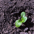 Green young sprout in the earth - Stock Photo