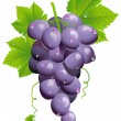 Grape cluster - Stock Vector
