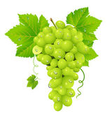 White grape cluster — Stock Vector
