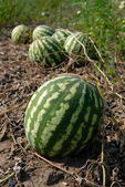 Ripe water-melons — Stock Photo