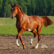 Dancing horse - Stock Photo