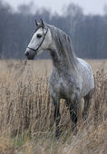 Grey Horse in the late autumn — Stock Photo