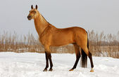 Bushskin horse — Stock Photo