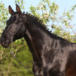 Black horse in orchard - Stock Photo