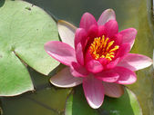 Beautiful blooming pink water lily Lotus Flower in the pond — Stock Photo