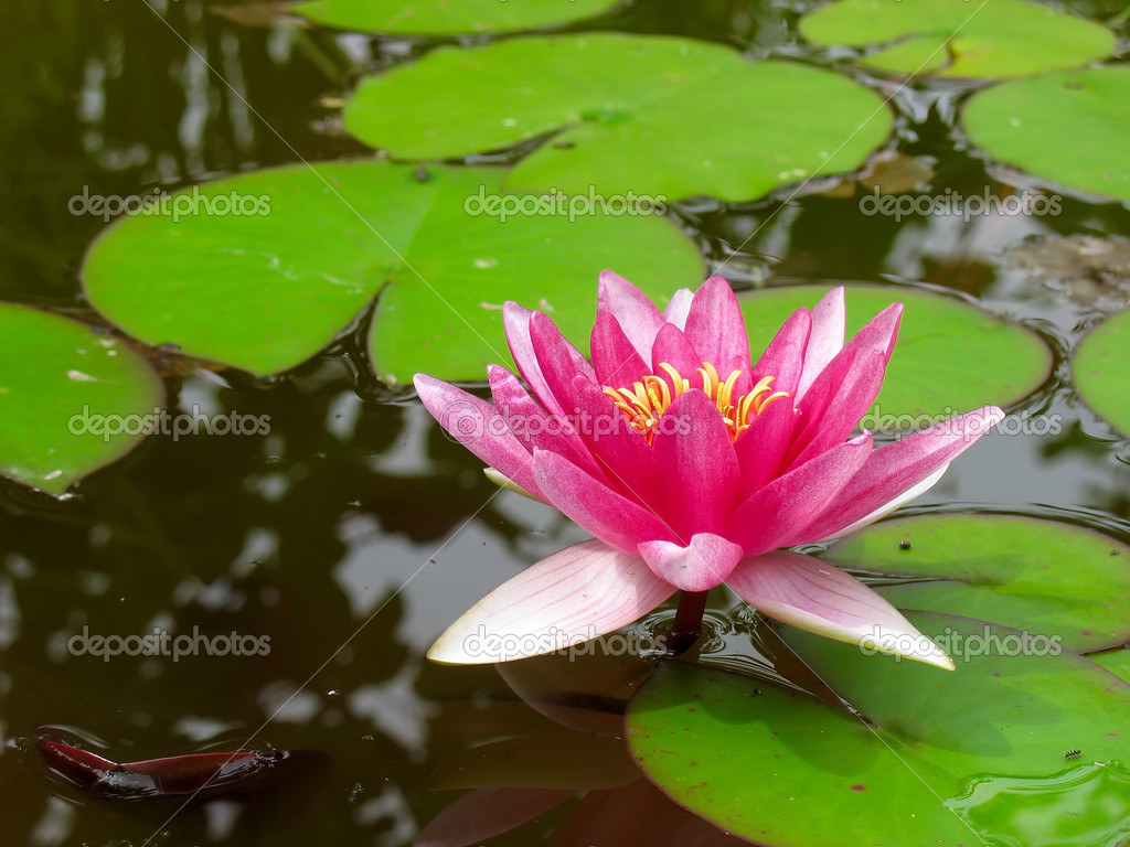 Red water lily lotus flower and green leaves — Stock Photo ...