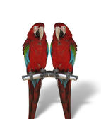 Two colorful parrots isolated on white — Stock Photo