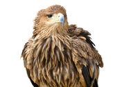 Jovem águia marrom sentado num suporte isolado sobre o branco — Foto Stock