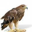 Young brown eagle sitting on a support isolated over white — Stock Photo