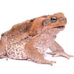 Closeup Cane Toad on white — Stock Photo