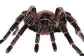 Big spider Tarantula — Stock Photo
