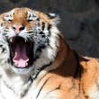 Tiger with bared fangs — Stock Photo #2741791