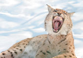 Lynx with bared fangs — Stock Photo