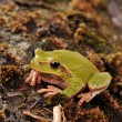 Stock Photo: Closeup green tree frog