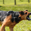 Angry dog with bared teeth — Stockfoto