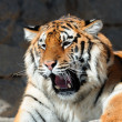 Tiger with bared fangs — Stock Photo #3116481