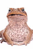 Cane Toad isolated on white background — Stock Photo