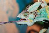 Eating chameleon — Stock Photo