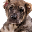 Young puppy 3 months age. Asian Shepherd — Stock Photo #3174155