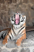 Tiger with bared fangs — Stock Photo