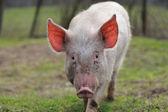実行中の豚 — ストック写真