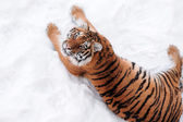 Tiger on the white background — Stock Photo