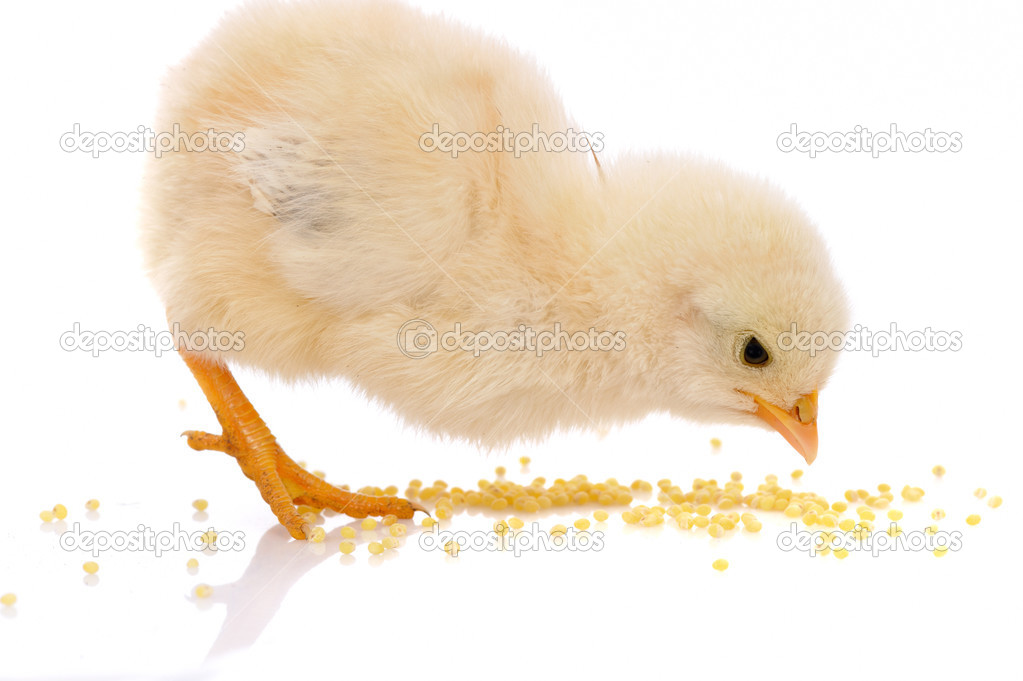 Chicken — Stock Photo #3287328