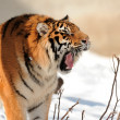 Tiger with bared fangs — Stock Photo #3367388