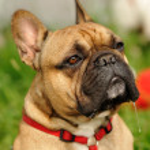 French Bulldog — Stock Photo