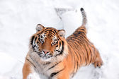 Tiger on the snow background — Stock Photo