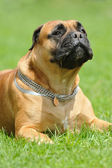 Bullmastiff — Stock Photo