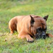 Boxer dog — Stock Photo #3401458