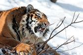 Tygrys z druta kły — Zdjęcie stockowe