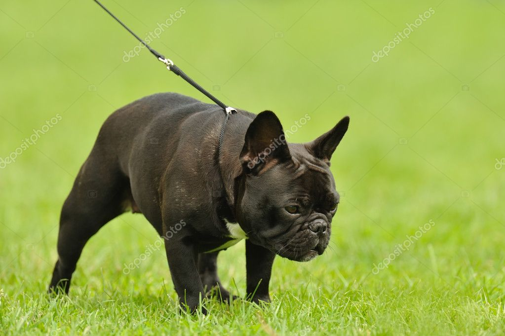 French Bulldog — Stock Photo #3572579