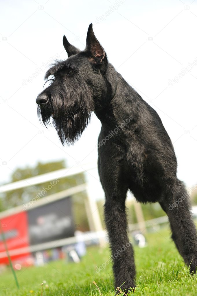 depositphotos 3572580 Giant Schnauzer An explosives expert at the RF MoD believed that the explosion in Minsk ...