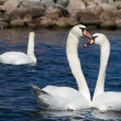 Two Swans — Stock Photo #3798900
