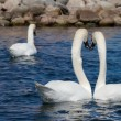 Two Swans look away — Stock Photo