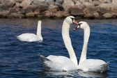 Two Swans — Foto Stock
