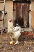 Chicken Hen — Stock Photo
